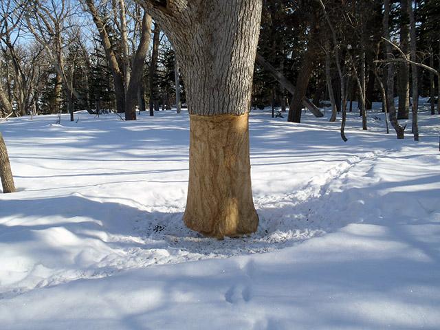 シカに皮を剥がされた木