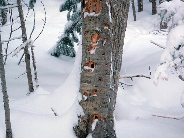 キツツキが穴をあけた木