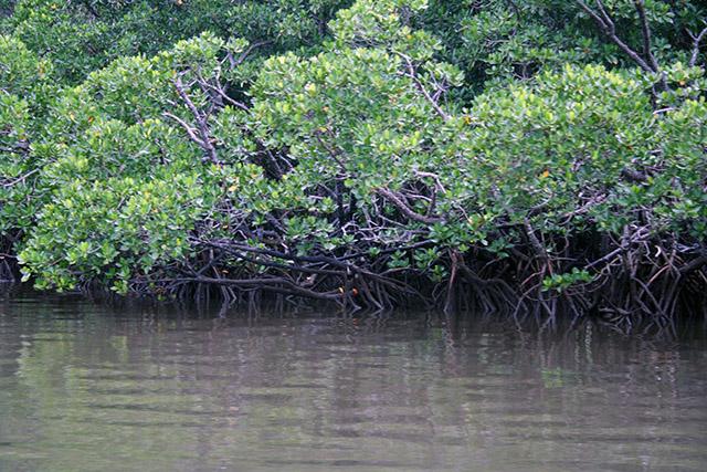仲間川のマングローブの森