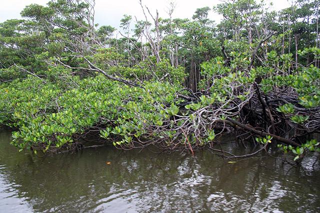 仲間川のマングローブの森2
