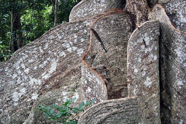 サキシマスオウの木.2