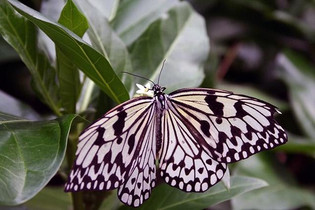 由布島の蝶々園の蝶