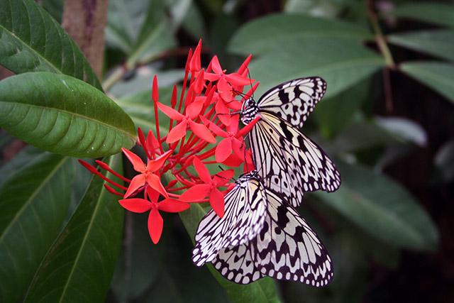 由布島の蝶々園の蝶2