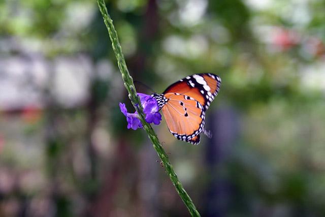 由布島の蝶々園の蝶3