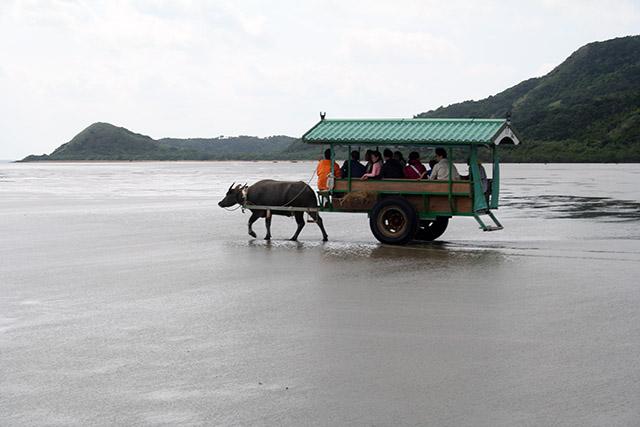 西表島ー由布島間の水牛車