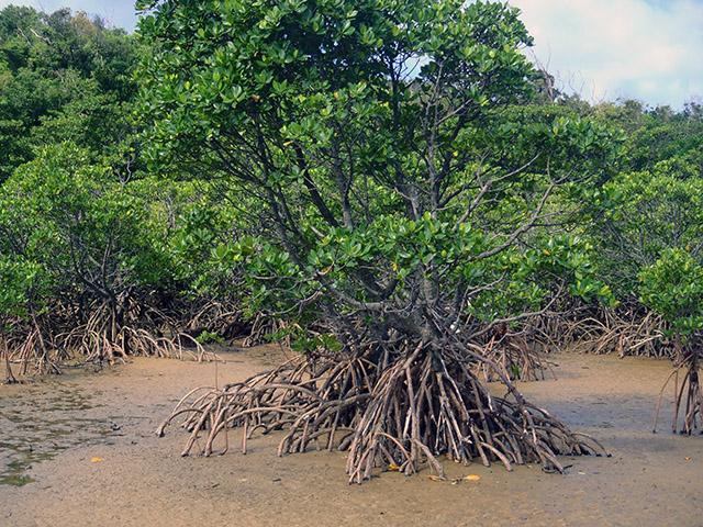 ヒナイ川のマングローブの森2