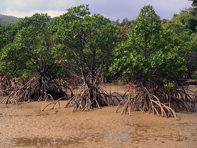 ヒナイ川のマングローブの森1