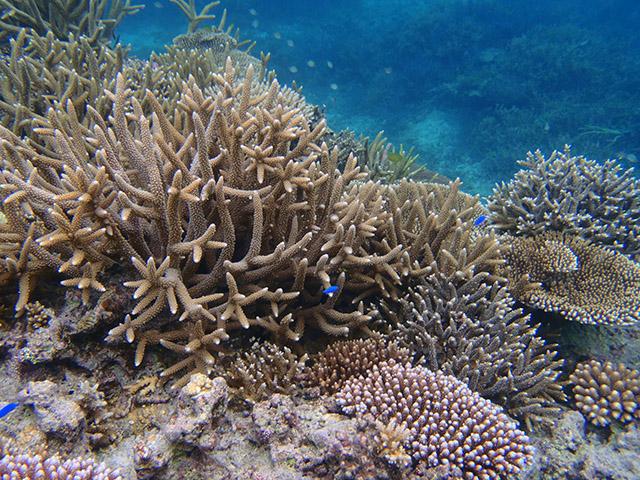 ルリスズメダイとサンゴ礁