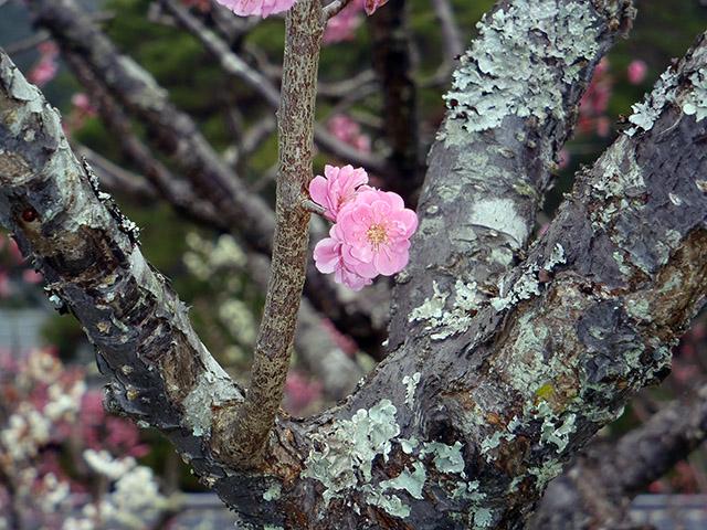 瑠璃光寺 梅の花1