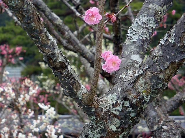 瑠璃光寺 梅の花2