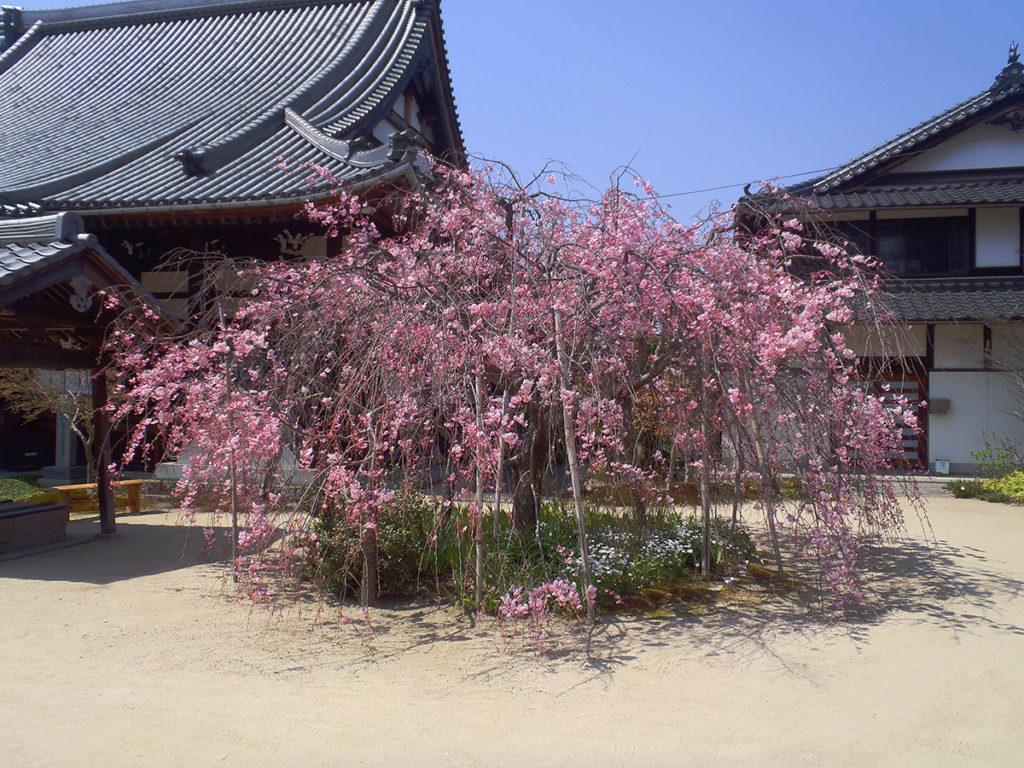 枝垂桜(4月6日)