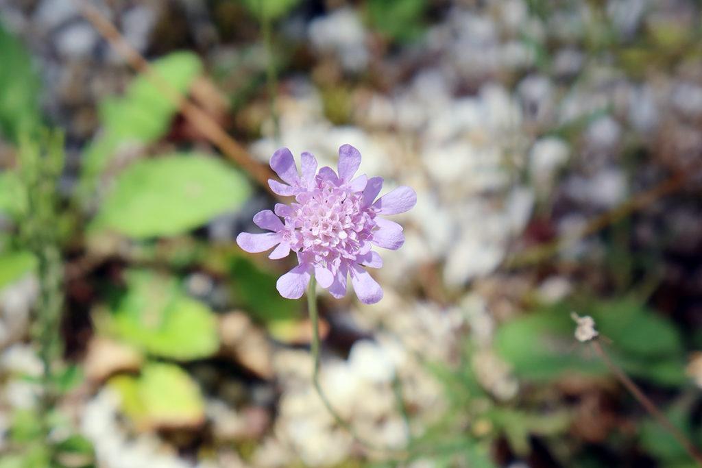ベニバラ エゾノチチコグサ