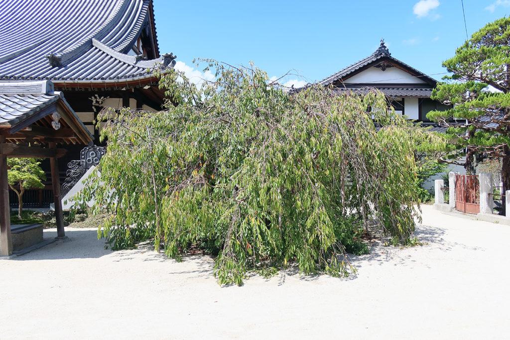 枝垂桜(9月9日)