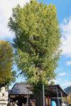 友廣神社のイチョウの木