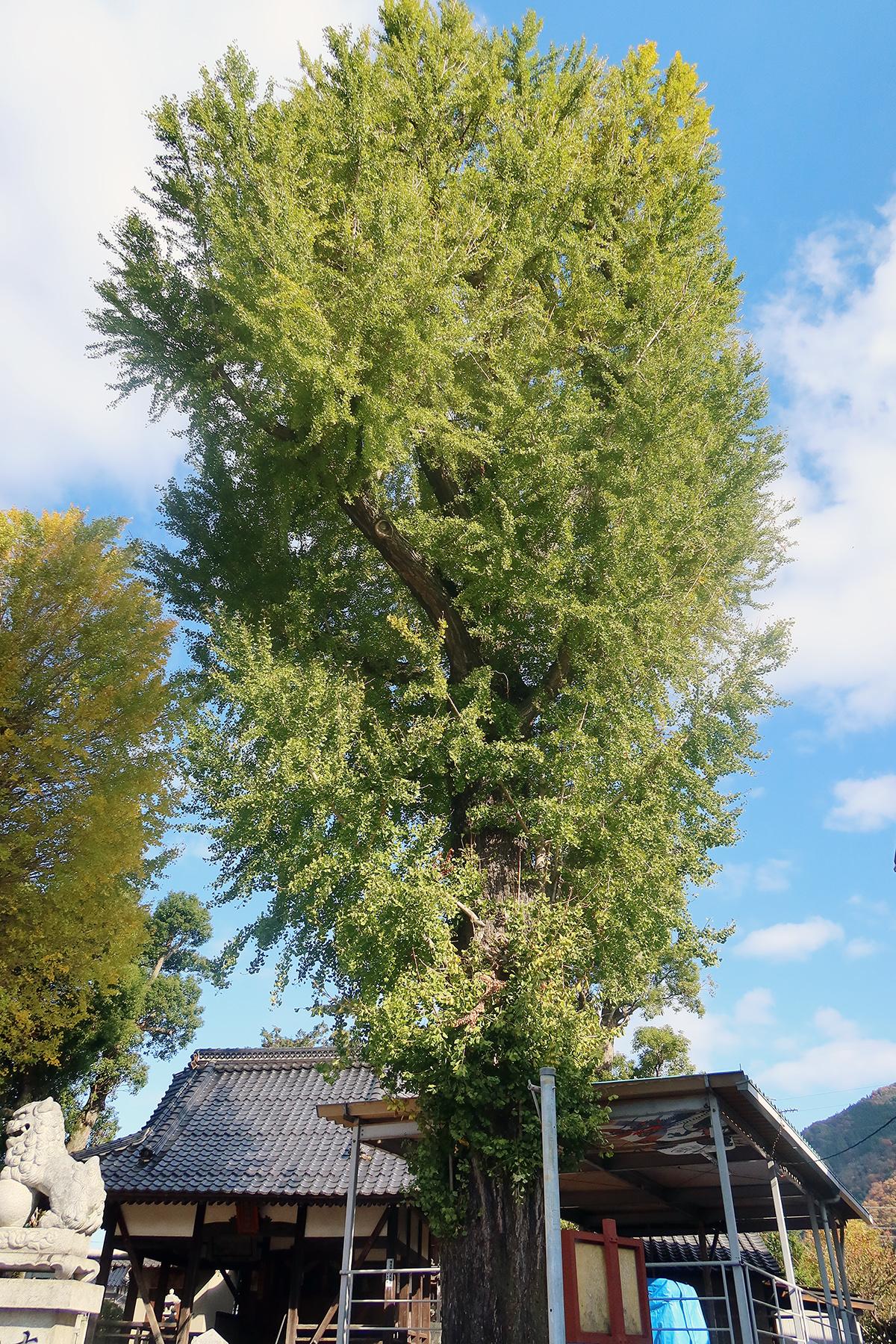 友廣神社のイチョウの木1126